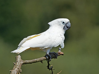 White Cockatoo (Cacatua alba)