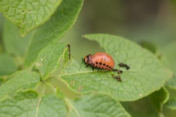 The red colorado beetle's larva feeding