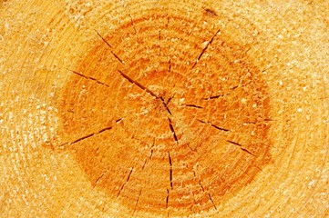Tree Cross Section Showing Annual Rings