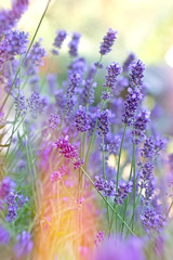 Beautiful lavender in my flower garden