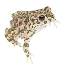 Young european green toad isolated on white  (Bufo viridis)