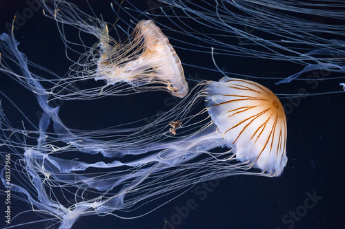 Jellyfish swimming in the ocean - 68377966