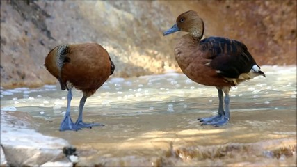Two brown ducks preening feathers in the water