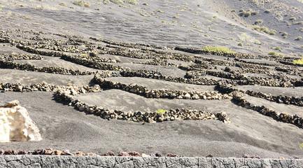 Plantación típica de viñedos en Lanzarote, Islas Canarias