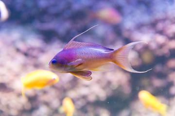 sea goldie - anthias squamipinnis - male