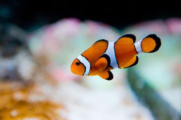 Amphiprion ocellaris -clownfish - Nemo