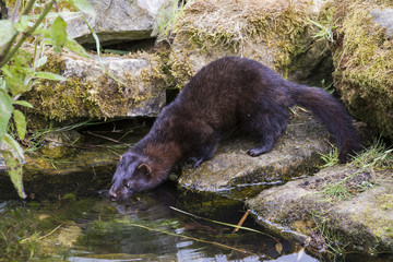 American Mink drinking Water. Tongue out.