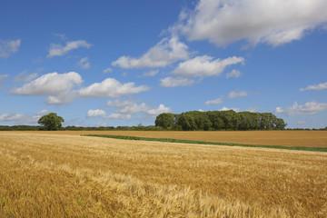 harvest time barley crop