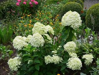 Rispenhortensie blüht im Sommergarten