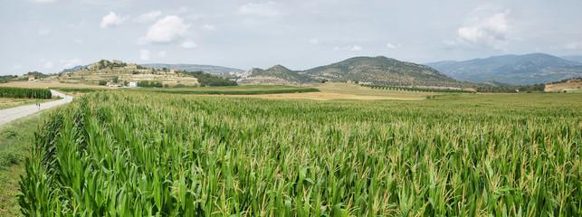 Green corn fields in La Noguera