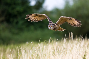 Eagle owl flight