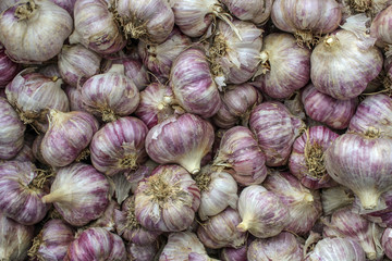 Harvest garlic