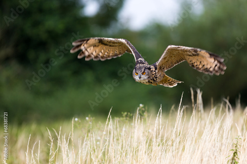 Fotobehang Uil Eagle owl flight