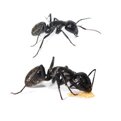 Big forest black ant isolated on white, Carpenter ant