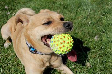 Junger Mischling beim Ballspielen