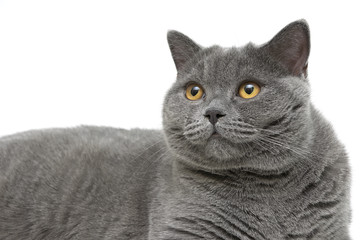 Portrait of gray cat (breed Scottish straight) on a white backgr