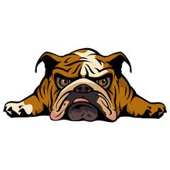 Britsh Bulldog