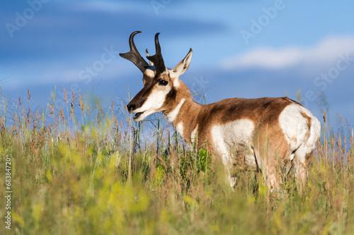 Fotobehang Antilope prong horn antelope