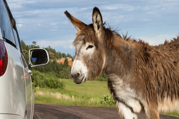 friendly wild burro