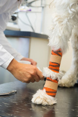 White dog with bandage at the veterinarian
