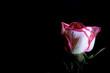 canvas print picture - rosa rosa