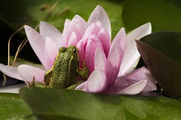rana en  flor de loto