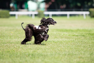 dog coursing competition