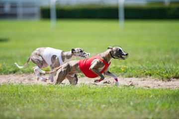 Dogs racing in lure coursing