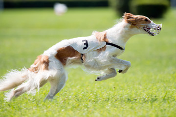 Dog racing in lure coursing