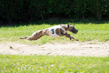 Dog at full speed on coursing competition