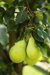 Fresh ripe pears on the pear tree