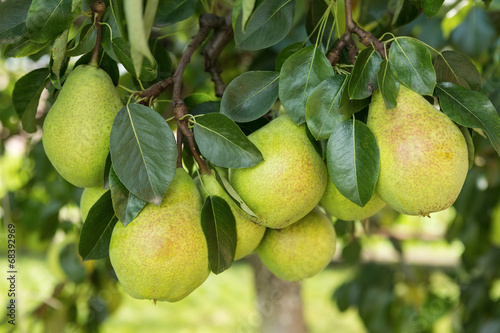 Fresh ripe pears on the pear tree © Deymos.HR