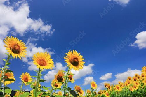 Sunflower ヒマワリ畑