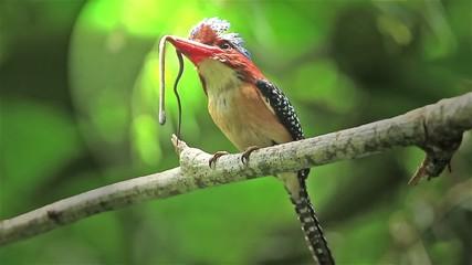 Male Banded Kingfisher (Lacedo pulchella)