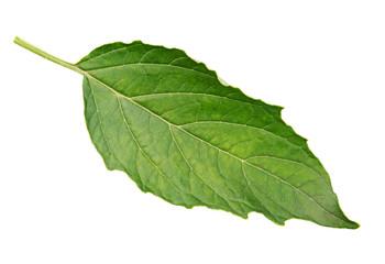 Green raw physalis leaf