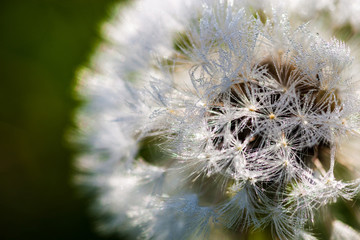 Closeup of the seeds of the dandelion flower with the drops of d