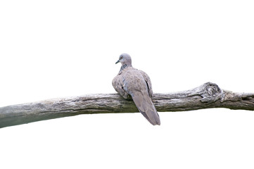 Zebra Dove (Geopelia striata) perching on a branch,Clipping Path