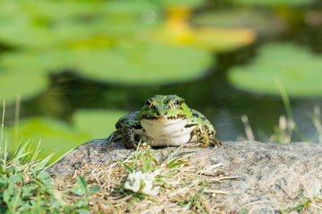 Front view of a green frog with pond in the background