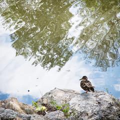 Mallard duck sits on the shore of lake