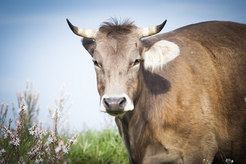 Cow portriat