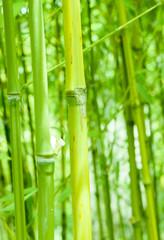 Canna di bambù