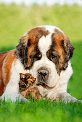 Big saint bernard dog with little toy terrier puppy