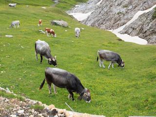 mucche al pascolo - Alpe di Siusi
