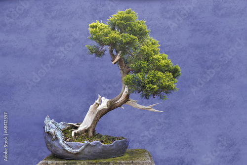Plexiglas Bonsai Bonsai tree Juniper China (Juniperus chinensis)