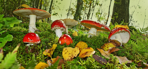 fly agaric toadstools in a forest - autumn