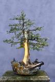 Bonsai tree Yew (Taxus baccata)
