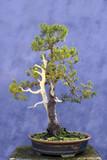 Bonsai tree European spruce (Picea abies)