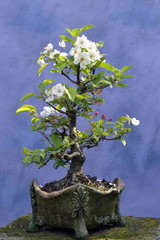 Bonsai tree apple tree
