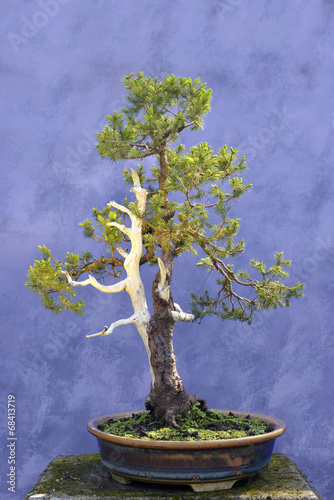 Fotobehang Bonsai Bonsai tree European spruce (Picea abies)