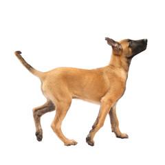 Tier Hund Welpe Malinois laufen Belgischer Schäferhund